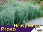 Proso rózgowate 'Heavy Metal' (Panicum virgatum) Sadzonka