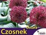 Czosnek 'Ostara' (Allium Ostara) CEBULKA