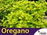 Oregano AUREUM GOLD (Origanum vulgare) Sadzonka C1