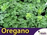 Oregano 'Hot and Spicy' (Origanum vulgare) Sadzonka
