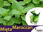 Mięta Marokańska (Mentha spicata Moroccan) Sadzonka C1