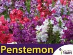 Penstemon, mieszanka (Penstemon gentianoides) 0,2g
