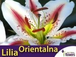 Lilia Orientalna (lilium) Arena CEBULKA