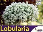 Lobularia 'Snow Princess' (Smagliczka nadmorska) Sadzonka