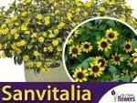 Sanwitalia rozesłana żółta (Sanvitalia procumbens) 0,3g