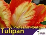 Tulipan Papuzi 'Professor Röntgen' (Tulipa) CEBULKI
