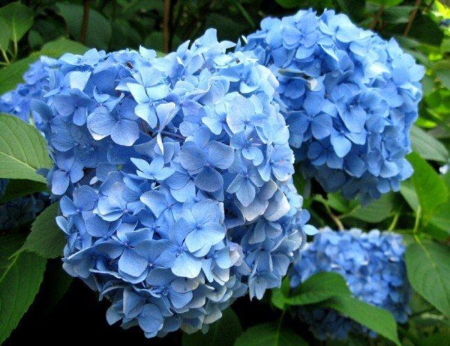 Sadzonki Hortensji Cena 25 Zł Renate Piękna Niebieska Odmiana