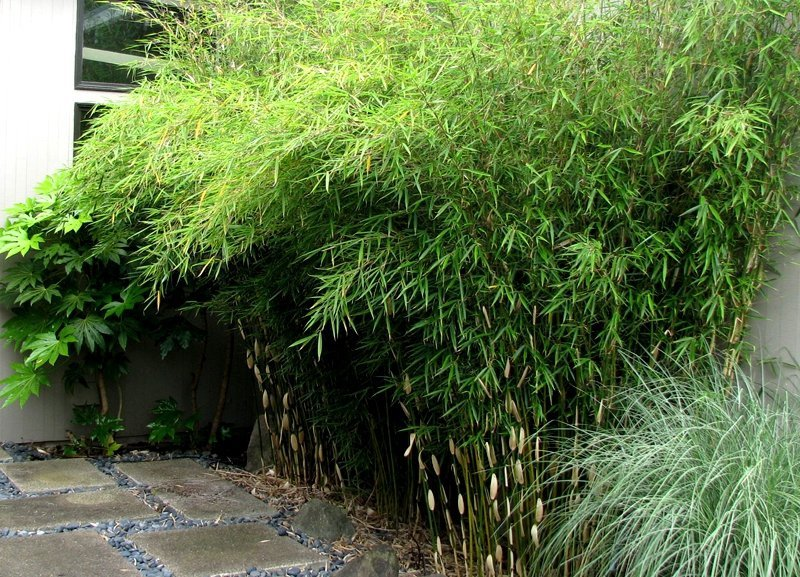 bambus mrozoodporny fargesia olbrzymia 39 campbell 39 fargesia robusta sadzonka sklep ogrodniczy. Black Bedroom Furniture Sets. Home Design Ideas