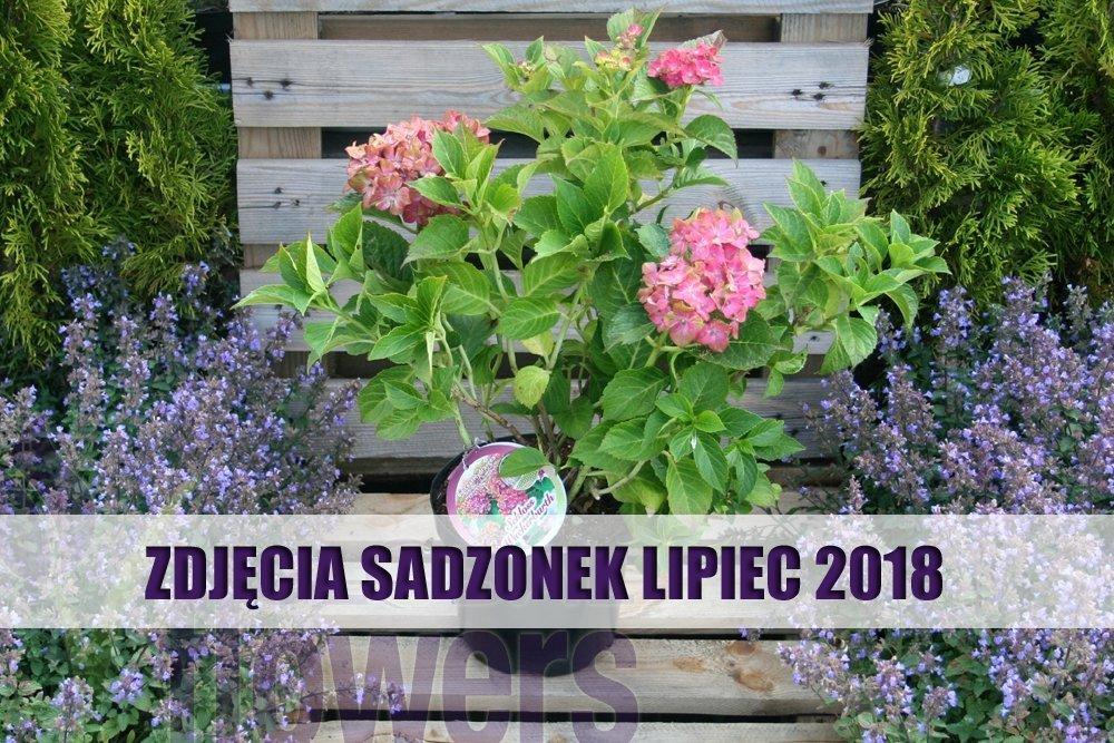 Hortensja Ogrodowa Schloss Wackerbarth Różowo Czerwona Hydrangea Macrophylla Sadzonka