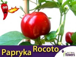Papryka Chili GIANT ROCOTO (Capsicum) nasiona