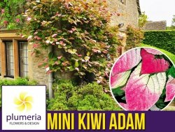 Mini Kiwi ADAM ♂ (Aktinidia pstrolistna) Sadzonka C2