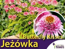 Jeżówka BUTTERFLY KISSES (Echinacea) Sadzonka C1