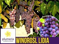 Winorośl LIDIA odmiana deserowa (Vitis) Sadzonka C2