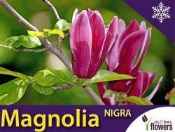 Magnolia purpurowa 'Nigra' (Magnolia liliiflora) Sadzonka