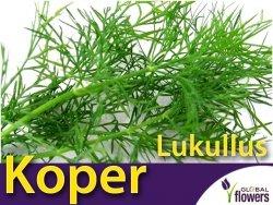 Koper ogrodowy Lukullus (Anethum graveolens) nasiona 5g
