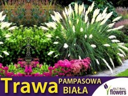 Trawa Pampasowa BIAŁA (Cortaderia selloana) Sadzonka C1/C2