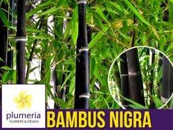 Czarny Bambus Drzewiasty NIGRA Mrozoodporny (Phyllostachys) Sadzonka C2,5 OUTLET