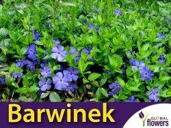 Barwinek pospolity 'La Grave' (Vinca minor) Sadzonka