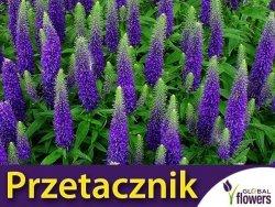 Przetacznik kłosowy (Veronica spicata) niebieski kłącza 1 szt
