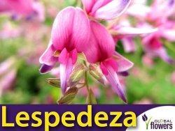 Lespedeza Sadzonka (Lespedeza bicolor)