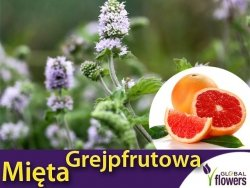 Mięta Grejpfrutowa (Mentha x piperita Grapefruit) Sadzonka C1