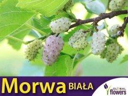 Morwa Biała Smaczne Owoce (Morus alba) Sadzonka C1