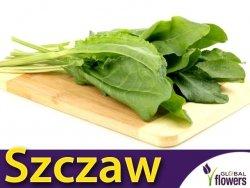 Szczaw BELWILSKI (Rumex acetosa) nasiona 2g
