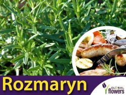 Rozmaryn 'Barbecue' (Rosmarinus) Odmiana Idealna Na Grilla Sadzonka