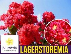 Lagerstroemia CZERWONA kwitnie 120 dni (Lagerstroemia indica) 4 letnia Sadzonka XL-C4,5