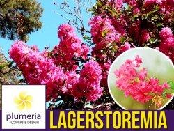 Lagerstroemia PETITE PINK kwitnie 120 dni (Lagerstroemia indica) 4 letnia Sadzonka XL-C5