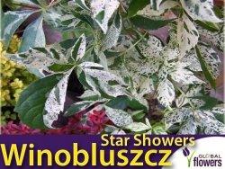 Winobluszcz pięciolistkowy STAR SHOWERS 'Monham' 3 letnia Sadzonka 60-90cm