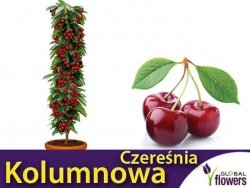 DRZEWKO OWOCOWE Czereśnia kolumnowa Queen Mary® (Prunus avium) Sadzonka C3,5