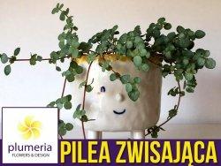 Pilea zwisająca GREYZY (Pilea glaucophylla) Roślina domowa. Sadzonka P6,5 - S