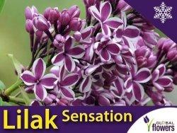 Lilak Pospolity 'Sensation' (Syringa vulgaris) Sadzonka C2