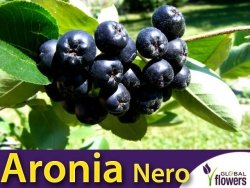 Aronia czarnoowocowa 'Nero' (Aronia melanocarpa) doniczkowana Sadzonka
