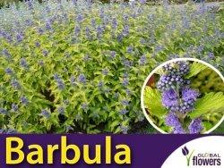 Barbula WORCESTER GOLD (Caryopteris clandonensis) Sadzonka C3
