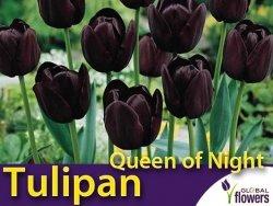 Tulipan pojedyńczy późny 'Queen of Night' (Tulipa) CEBULKI 5 szt