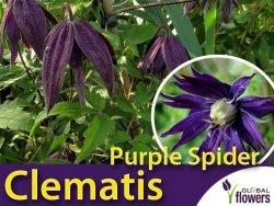 Powojnik botaniczny PURPLE SPIDER (Clematis) Sadzonka C1