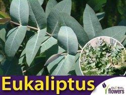 Eukaliptus Gałkowy (Eucalyptus globulus) Sadzonka C1