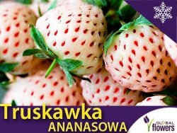 Truskawka WHITE DREAM Truskawka + Ananas Sadzonka Pineberry