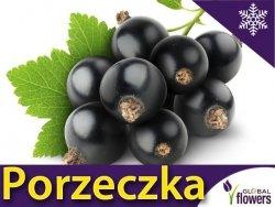 Porzeczka czarna 'Titania' krzaczasta (Ribes nigrum) Doniczkowana Sadzonka