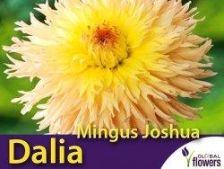 Dalia strzępiasta wysoka 'Mingus Joshua' (Dahlia x cultorum) Kłącza 1 szt.
