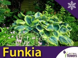 Funkia FRANCES WILLIAMS (Hosta) Sadzonka C2
