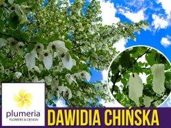 Dawidia Chińska Drzewko chusteczkowe (Davidia involucrata) Sadzonka  XL-C5