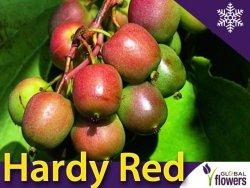 Aktinidia ostrolistna Sadzonka Kiwi Hardy Red  - odmiana żeńska