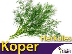 Koper ogrodowy Herkules (Anethum graveolens) XL 100 g