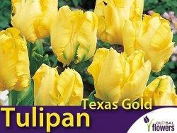 Tulipan Papuzi 'Texas Gold' (Tulipa) CEBULKI 4 szt
