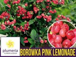 Borówka Różowa PINK LEMONADE Rarytas Sadzonka C1