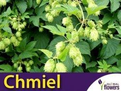 Chmiel zwyczajny (Humulus lupulus) nasiona