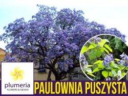 Paulownia Puszysta - Cesarskie Drzewko Szczęscia (Paulownia Tomentosa) Sadzonka C2